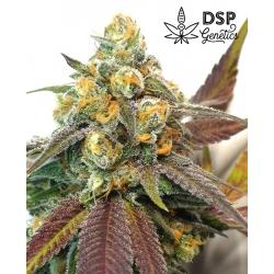 DSP Genetics - Platinum Cookies - 5 Feminized Seeds