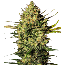 White Label - Master Kush - 1 Autoflowering Seed