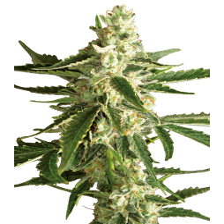 White Label - White Diesel Haze - 1 Autoflowering Seed